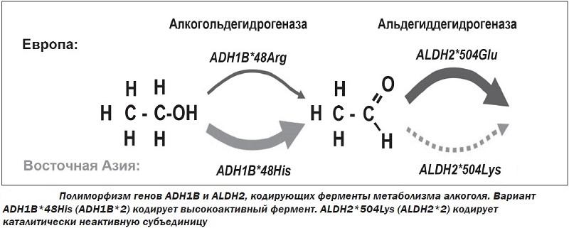 генетически обусловленные отличия переработки этилового спирта у европейцев и азиатов.jpg
